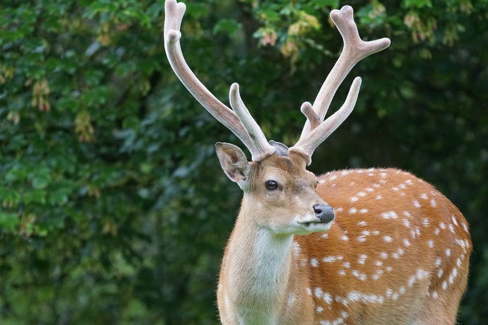 apple-scented-deer-attractant