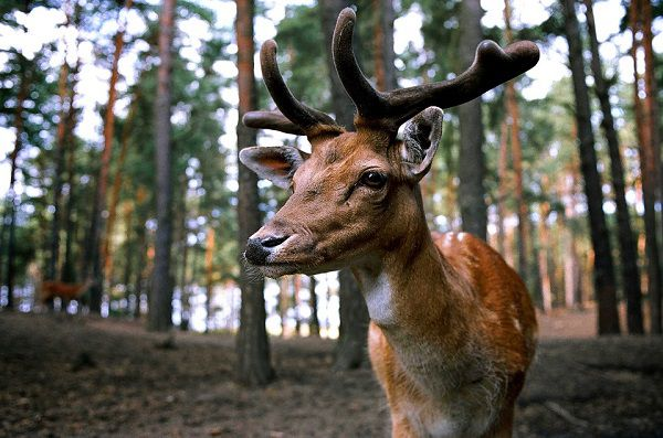 deer decoys work or not