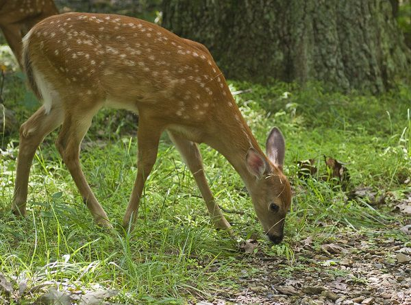 deer feeder faq
