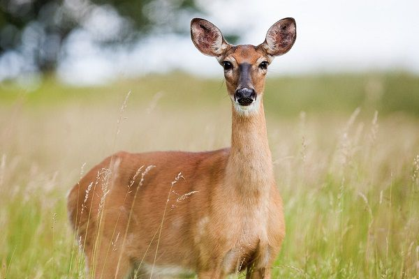 deer attractant to use