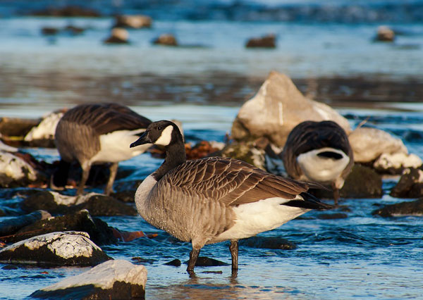 Top 5 Best Goose Decoys – Review and Buying Guide