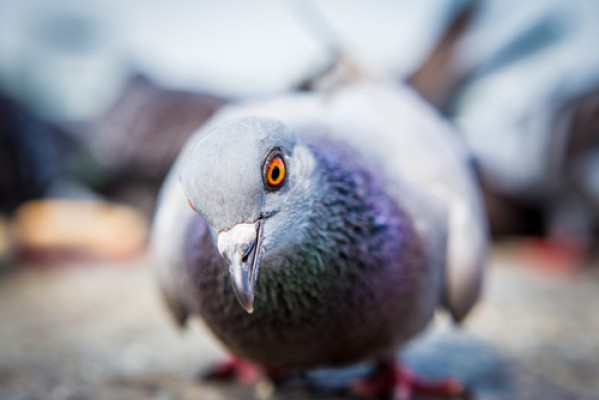best pigeon decoy