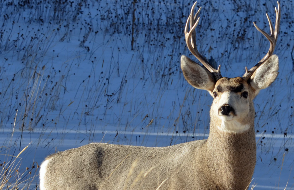 whitetail deer standing in snow while hunter debates .243 vs .308 for deer hunting