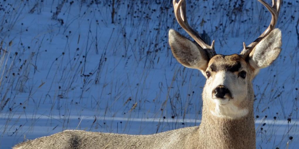 whitetail deer hunting .243 vs .308